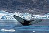 Humpback Whale, Sermilik Fjord, Greenland