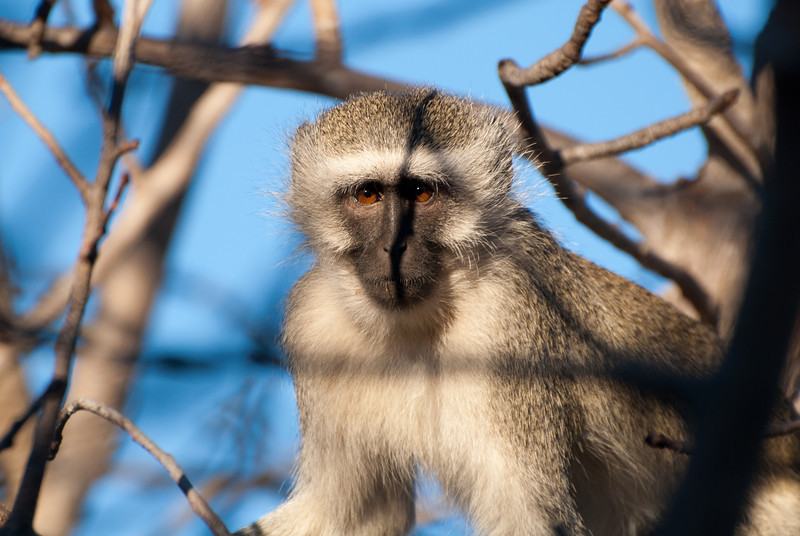 """<span id=""""title"""">Monkey Stare</span> <em>Tremisana Game Lodge</em> This monkey looks kind of pissed, like I was too close to his tree."""