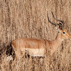 "<span id=""title"">Impala</span> <em>Kruger National Park</em> I can't believe how well their coats match the color of the dry grass."