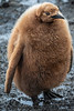 King Penguin Chick, Salisbury Plain, South Georgia