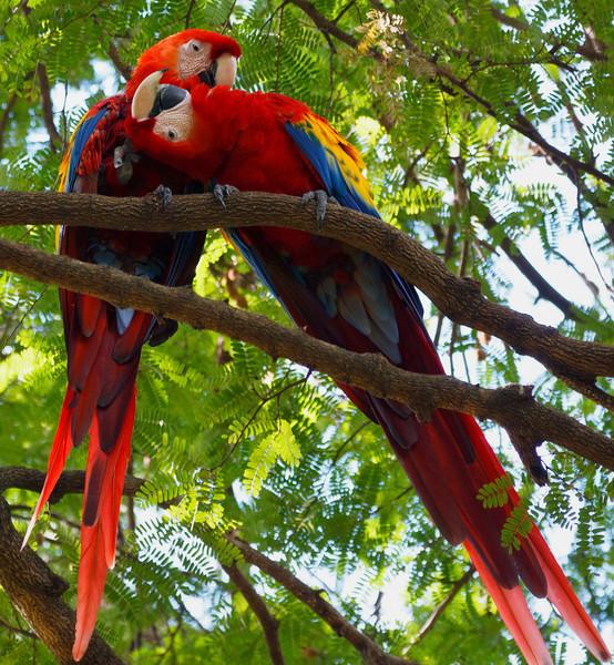 Necking Macaws,  Nicaragua