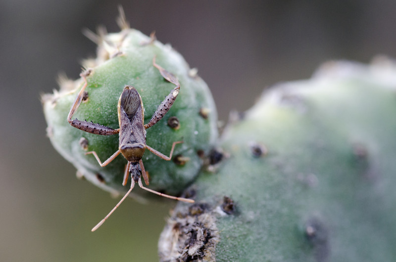 Bug on Cactus