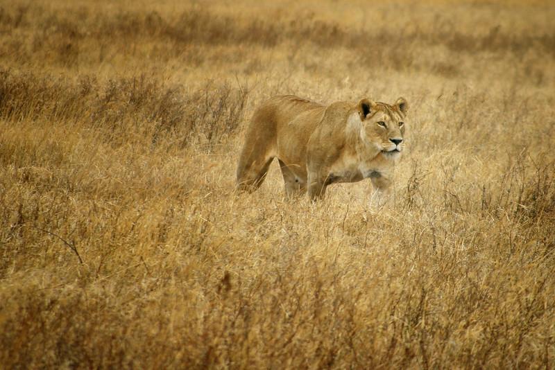 Lioness Stalking, Tanzania