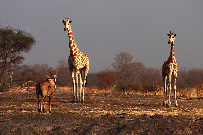 Two giraffs and one Hippotrague, Waza park, Extreme-North, Cameroon.