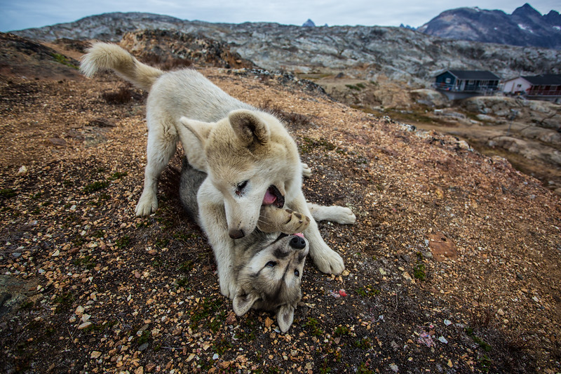 Sled Dogs at Play, Tiniteqilaaq, Greenland