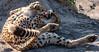 Cheetah Roll, Botswana