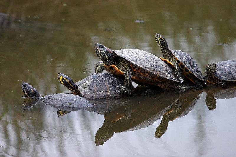 Turtles, Sainte-Croix park, Lorraine, France.