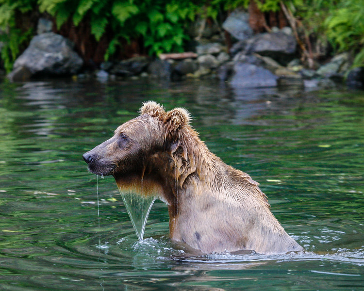 Brown Bear Fishing, Redoubt Bay, Alaska