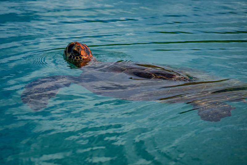 Sea Turtle Surfacing, Galapagos