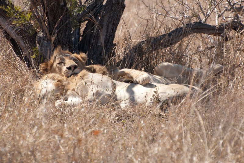 """<span id=""""title"""">Who's There?</span> <em>Kruger National Park</em> Two male lions sleeping/cuddling/spooning under a small tree. The laid there for most of the time, but I like how this one looks like we disturbed it from it's sleep. Not that I blame it, we did."""