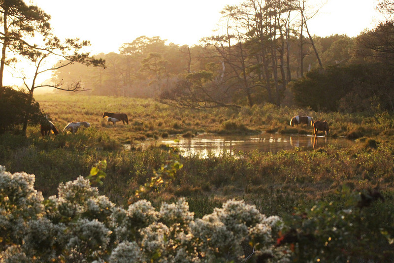 Assateague Horses as they should be