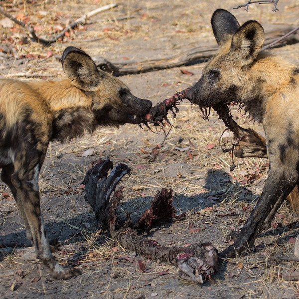 Carcass Tug of War, Botswana