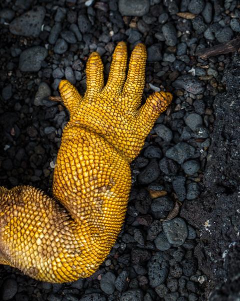 Land Iguana Hand, Galapagos