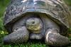 Galapagos Giant Tortoise, Galapagos