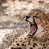 "<span id=""title"">Yawn 2</span> <em>Ann van Dyk Cheetah Centre</em> Caption"