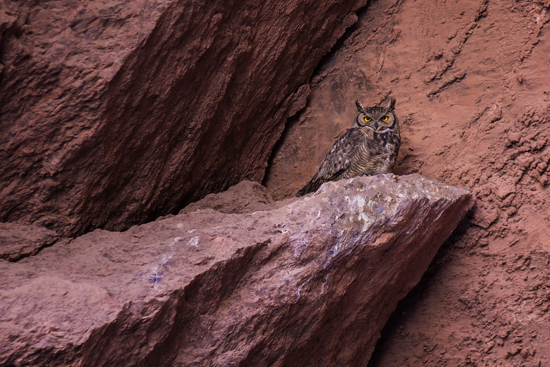 Magellanic Horned Owl, Atacama, Chile