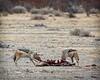 Jackals Eating Aardvark, Namibia