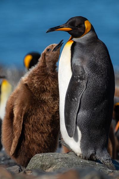 Begging King Penguin Chick, St. Andrew's Bay, South Georgia