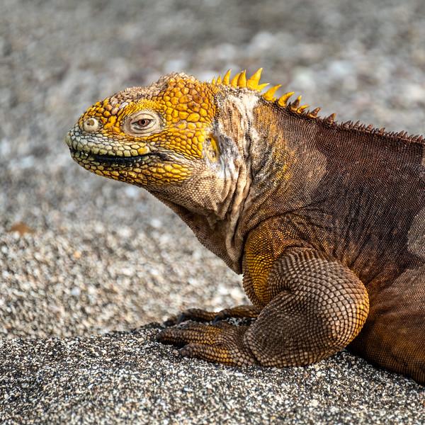 Land Iguana Relaxing, Galapagos