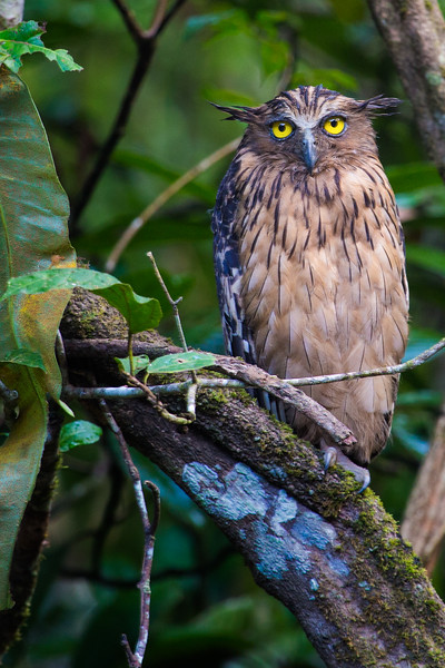 Buffy Fish Owl, Borneo