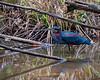 Agami Heron, Tambopata, Peru