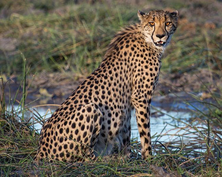 Cheetah at Watering Hole, Botswana