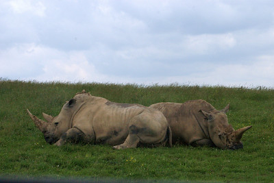 Rhinos Resting (captives) The Wilds Ohio, USA