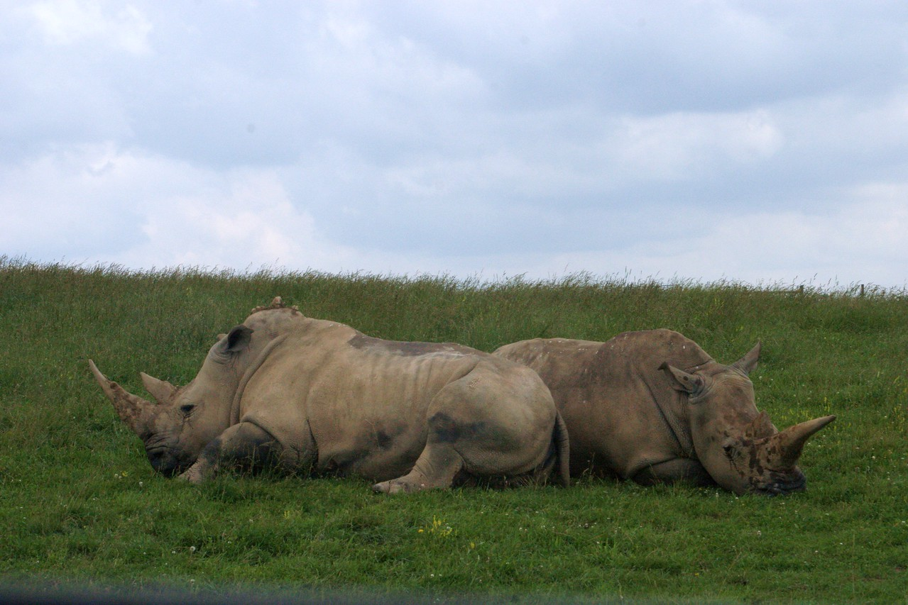 Rhinos Resting