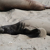 "<span id=""title"">Elephant Seal Sand Bath </span> Looks happy, doesn't he? Or she?"
