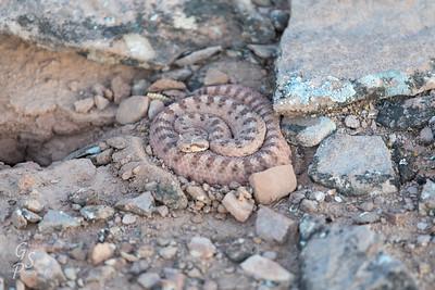 Rattlesnake in Arizona desert