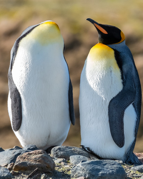 Headless King Penguin? St. Andrews Bay, South Georgia