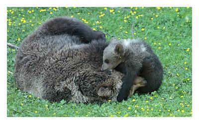 Juraparc - juin 2012  Ursina  a donné naissance en janvier à trois ourson