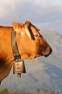 Vache à SuperBagnères (2010)