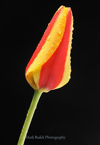 A beautiful two-tone tulip, photographed at night in front of the Red Shoe on Ashley in Ann Arbor on April 28, 2013.  (Photo ©Mark Bialek)