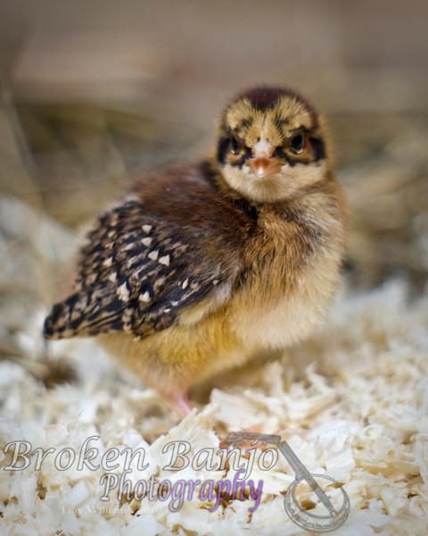 Chicks012high