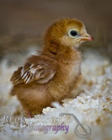 Chicks017high