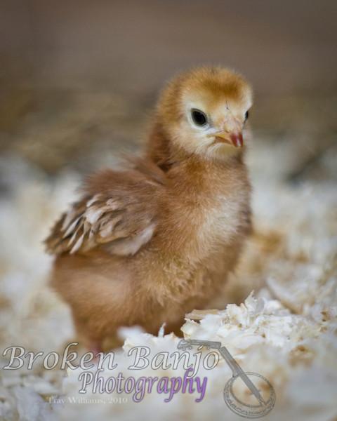 Chicks015high