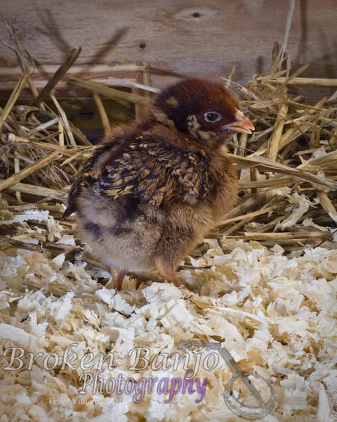 Chicks005high