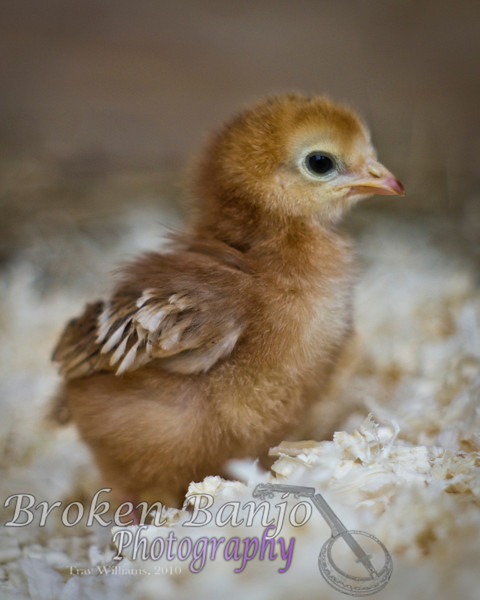Chicks016high