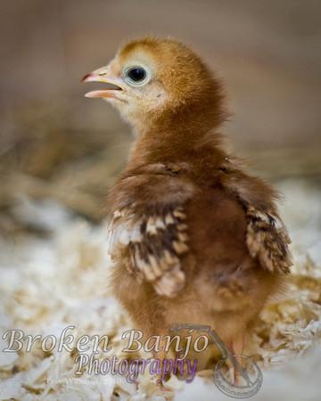 Chicks019high