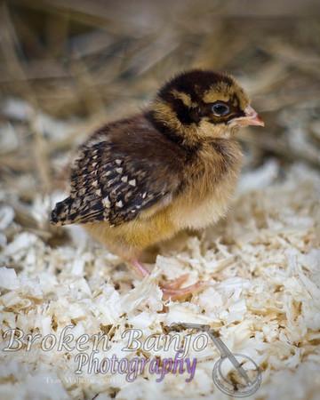 Chicks010high