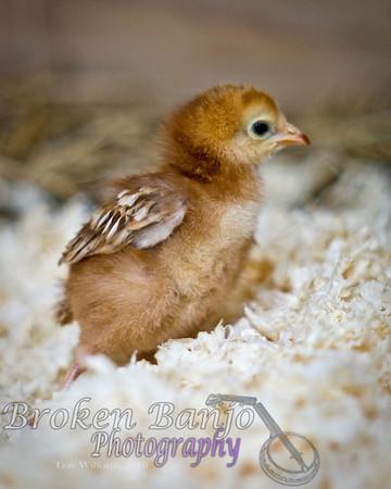 Chicks014high