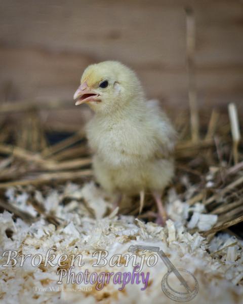 Chicks023high