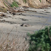 Our first look at an Elephant Seal from a long distance.  This beach used to not be used at all but it looks like they are expanding.