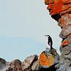 chin strap penguin