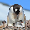 Gentoo penguin mom with two chicks
