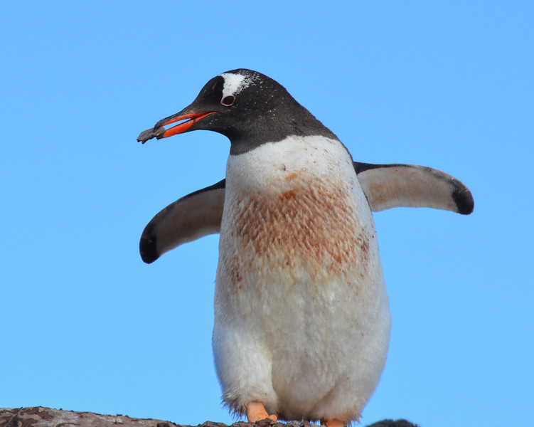 Gentoo penguin building nest