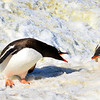 Gentoo penguin mom talking to her chick