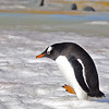 Gentoo penguin returning to feed chick