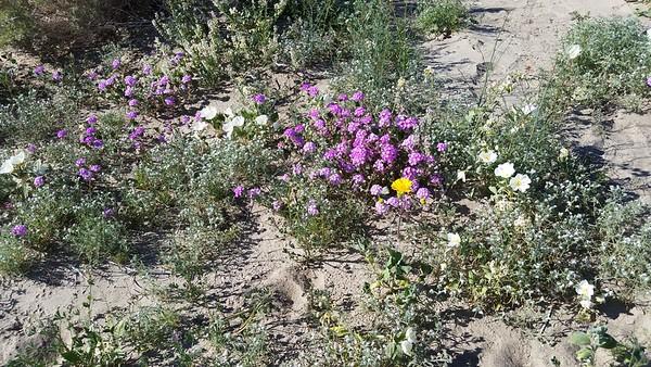Anza borrego flowers trip